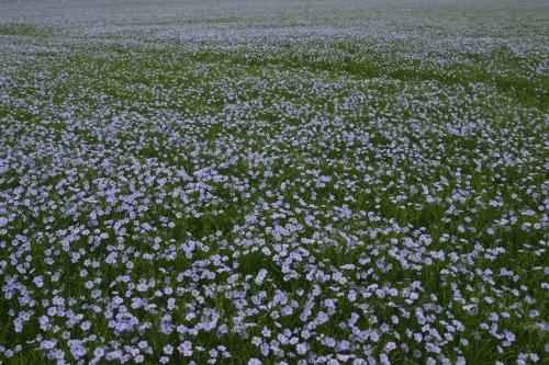 Field_of_flax_(nick-od)_2